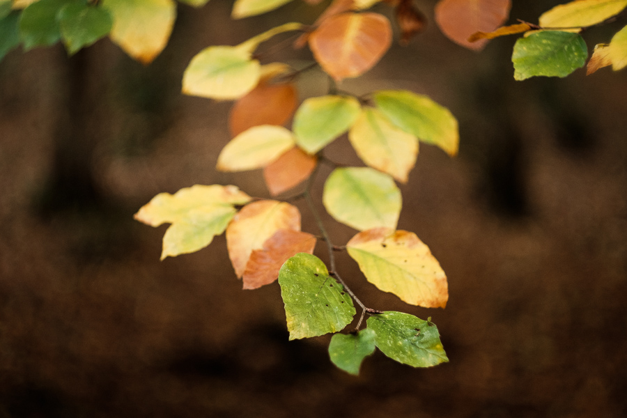 Photo of autumn leaves made with Helios 58mm f2 vintage lens